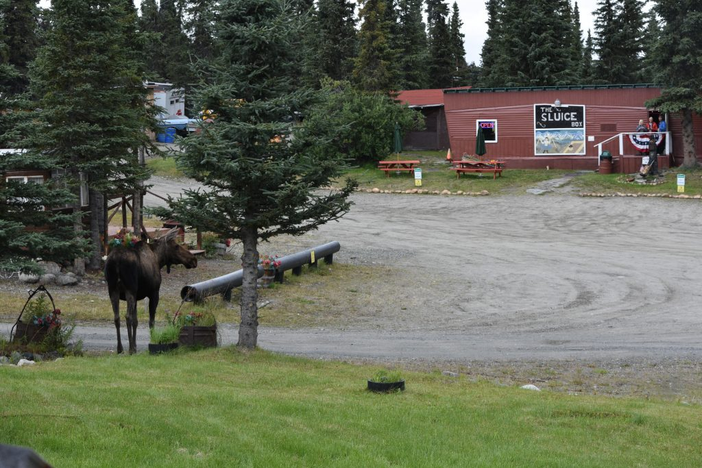 Guests at Sluice Box taking photo of Moose walking through